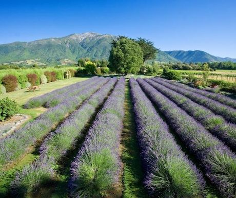new zealand Gay lavender island south